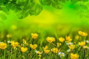 Buttercup picture