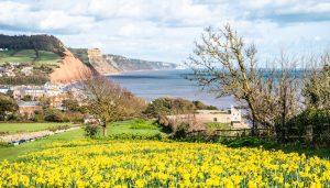 Devon daffodils